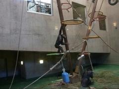 旭山動物園・チンバンジー.jpg