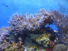 東海大学海洋科学博物館/水族館部門/カクレクマノミ.jpg